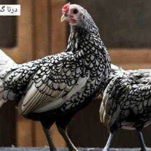 تخم نطفه دار سیبرایت